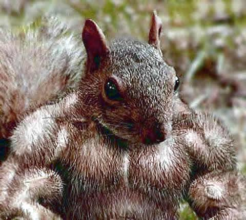 biceps-of-a-squirrel