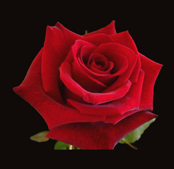 wholesale-red-roses