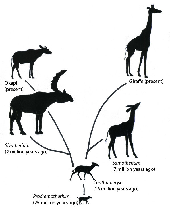 Giraffe family tree